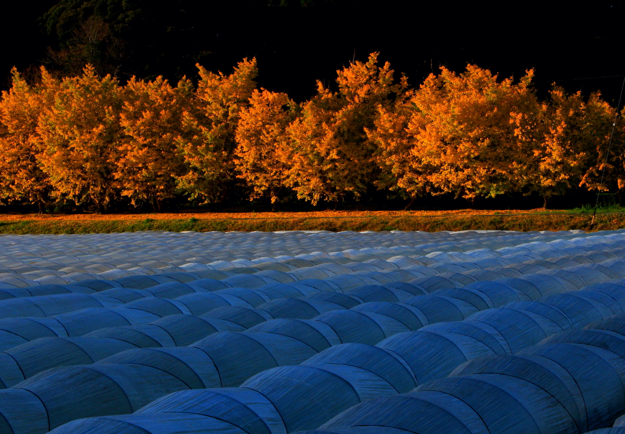 銀杏林とレタス畑の朝